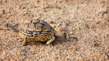Leopard tortoise manages to find one tiny green shoot to eat in Kruger National Park. Food is scarce following one of the worst droughts in forty years.