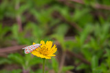 Insects have red spots on white wings hang on yellow flower