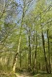 Feuillage des hêtres au dessus d'un chemin à la Forêt de Soignes