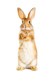 rabbit is standing on its hind legs - 154266907