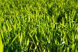 Frisches Grünes Gras im Sonnenlicht