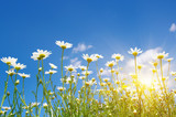 chamomile and sun