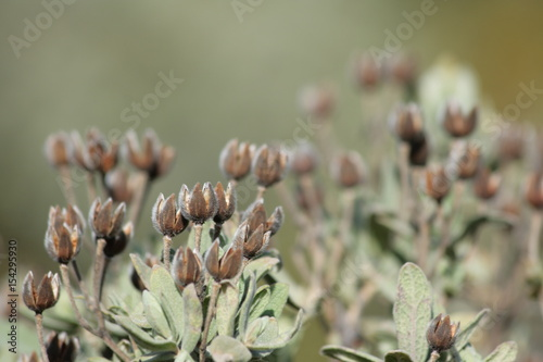 Foto Murales Fruit de cistes blanc, Cistus albidus