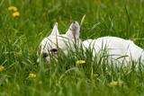 Osterhase in gestalt einer französischen bulldogge versteckt sich im Gras