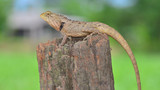 Chameleon on the timber blur background.