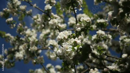 Apple-tree in bloom © andrey_apalkov
