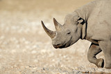 Portrait of a black rhinoceros (Diceros bicornis), Etosha National Park, Namibia.