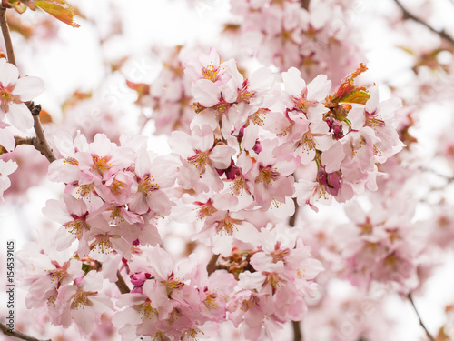 Fototapeta Branch with blossoms Sakura. Abundant flowering bushes with pink buds cherry blossoms in the spring.