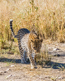 Leopard among the dry grass