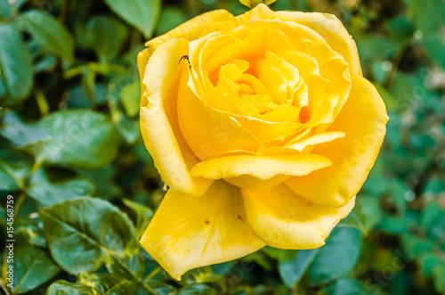 Papiers peints Azalea yellow rose with detail on the petal