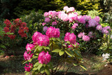 Rhododendron bush Pink in the garden