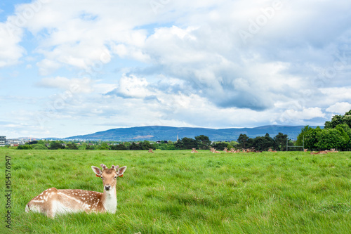 Brown Deer Laying on Grass at Phoenix Park, Dublin Poster