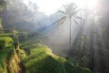 Terrace rice fields in Ubud, Bali, Indonesia - 154595301