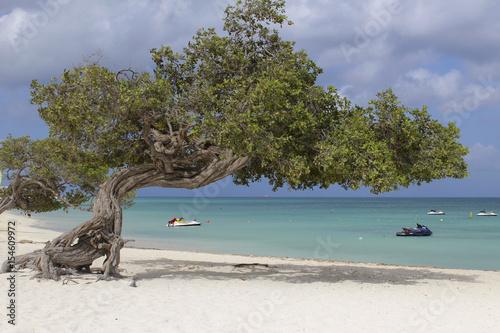 Divi divi tree Aruba Poster