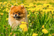 Fluffy Dog Pomeranian Spitz Sitting in a Spring Park in Surrounded Dandelions on a Sunny Day.