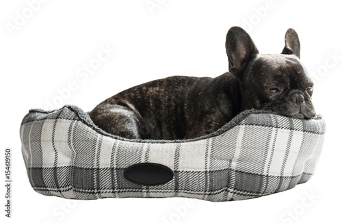 Poster French bulldog lying in bed