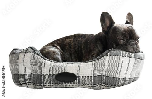 French bulldog lying in bed