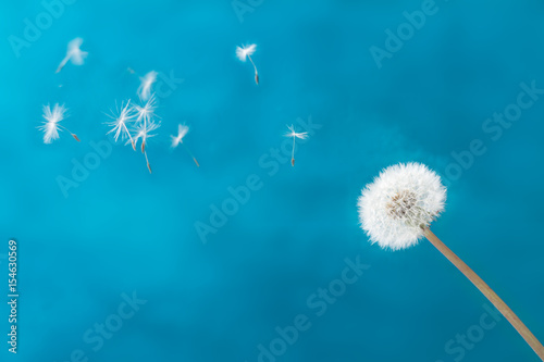 White dandelion head blowball with flying seeds on blue background - 154630569