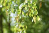 Birch tree earrings in spring sunny day