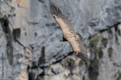 vautour fauve Poster