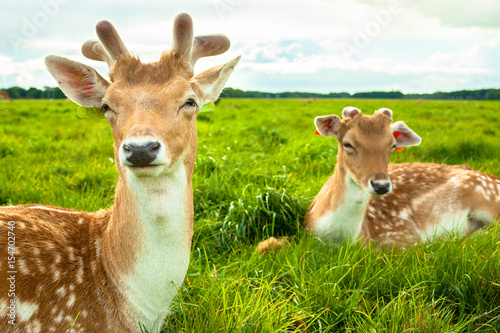 Two Brown Deers Laying on Grass at Phoenix Park, Dublin Poster
