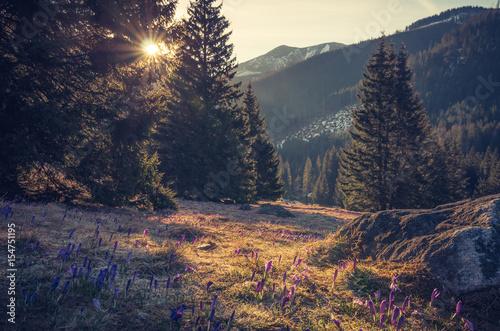 Fotobehang Nachtblauw Tatra mountains, Poland, crocuses in Chocholowska valley, spring