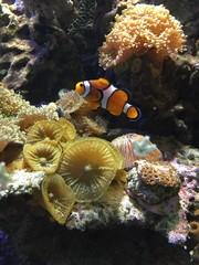 Błazenek na tle rafy koralowej