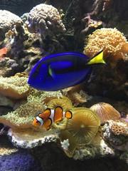 Błazenek i Pokolec królewski w akwarium