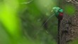Male of Resplendent quetzal (Pharomachrus mocinno) sits in the nest in the humid forest of Monteverde National Park. Costa Rica