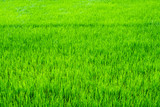 Rice field scenery in thailand, green background