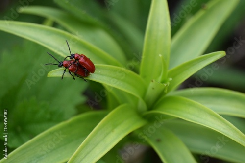 Two red beetles copulating on a green leaf Poster