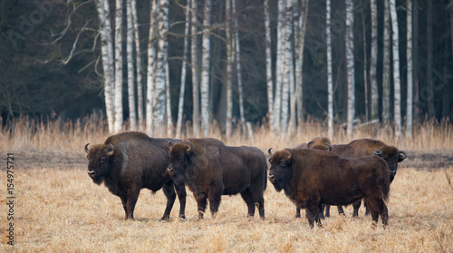 Aluminium Bison A Herd Of European Aurochs Grazing On The Field.Four Large Brown Bison On The Birch Forest Background.Four Bulls With Big Horns On The Background Of The Forest.Bestial Gang.Bialowieza Forest Reserve.