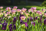 Blooming colorful tulips in a garden, spring time in Poland.