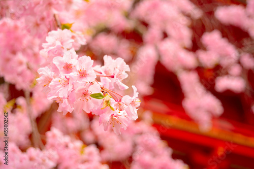 Tuinposter Candy roze 春の仁和寺