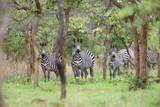 Plains zebra (Equus quagga) in Zambia