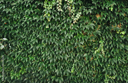 Fototapeta Natural Green leaves wall background. Wild grapes.