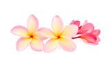 frangipani or plumeria isolated on white background