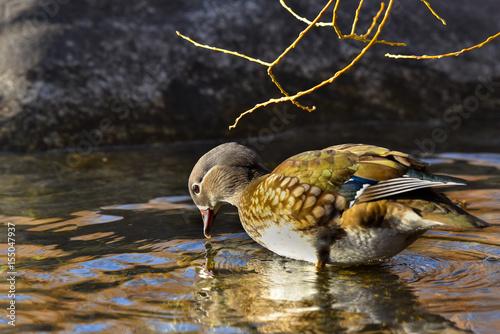 Anatra mandarina femmina che cerca cibo nel lago Poster