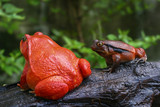 a pair of adult Tomato frogs in natural background, selective focus