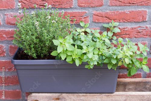 Herbs: oregano, thyme. Outdoor, garden, brick wall.