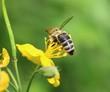 Bee on a St. John's wort herb