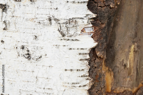 birch tree bark - 155113158