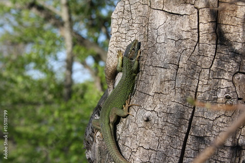 A magnificent lizard on a tree is warmed by the sun Poster