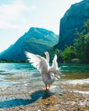 Oca bianca al lago, con ali aperte