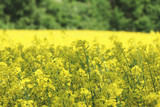 Growing canola field forest