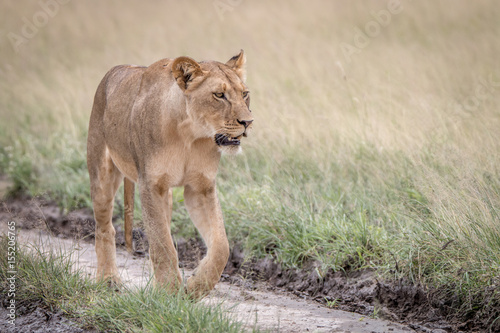 Lion walking in the sand in the Kalahari. Poster
