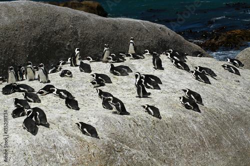 Plakát African penguin, Cape town, South Africa
