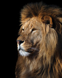 Lion's profile portrait isolated at black - 155213991