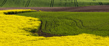 Panorama of the spring field,yellow, blooming canola