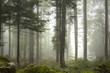 Lovely foggy forest tree landscape.